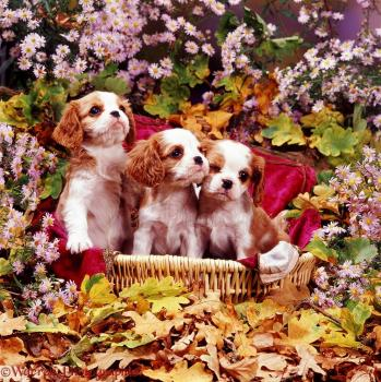 06000 cavalier king charles pups among flowers 1
