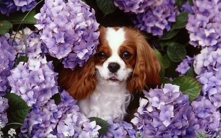 Flowers animals dogs purple flowers king charles spaniel pics 189044