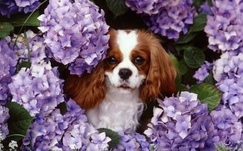 Flowers animals dogs purple flowers king charles spaniel pics 189045
